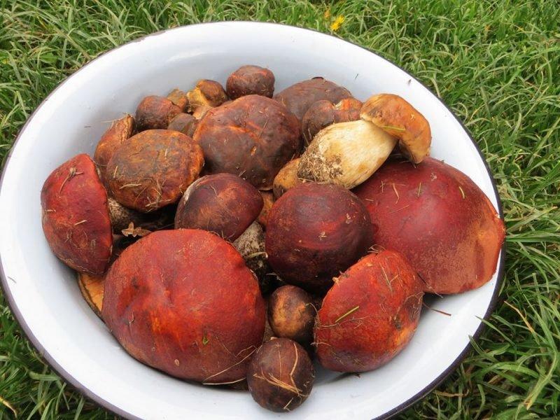 Великий врожай: на Закарпатті стартував грибний сезон (ФОТО), фото-1