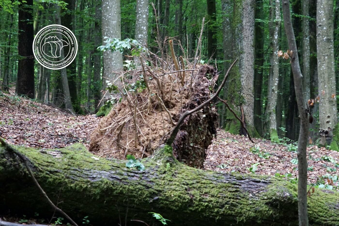 Сильні вітри та дощі: на Хустщині нищівна стихія повиривала дерева з корінням (ФОТО), фото-3