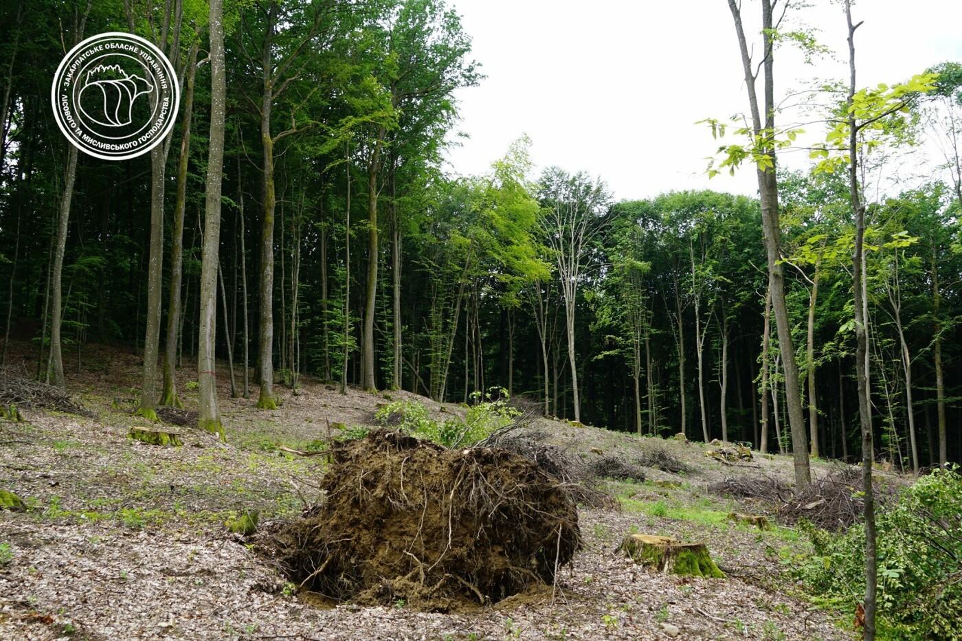 Сильні вітри та дощі: на Хустщині нищівна стихія повиривала дерева з корінням (ФОТО), фото-1