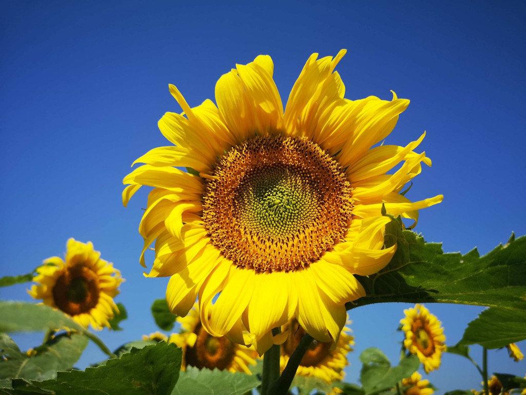 Фото у соняшниках: біля Мукачева з'явилась унікальна фотозона (ФОТО), фото-4