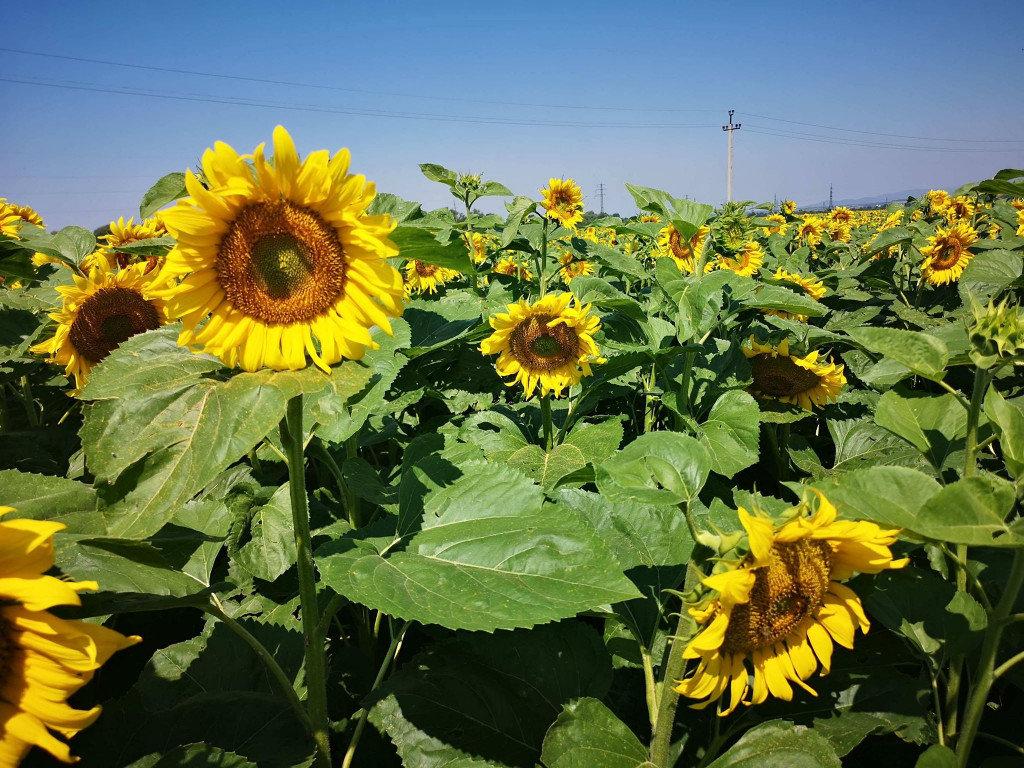 Фото у соняшниках: біля Мукачева з'явилась унікальна фотозона (ФОТО), фото-5
