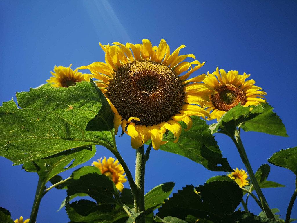 Фото у соняшниках: біля Мукачева з'явилась унікальна фотозона (ФОТО), фото-3