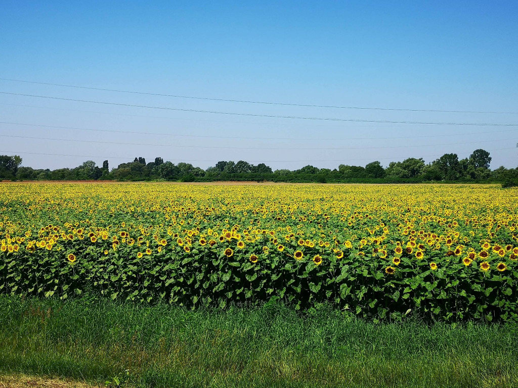 Фото у соняшниках: біля Мукачева з'явилась унікальна фотозона (ФОТО), фото-1