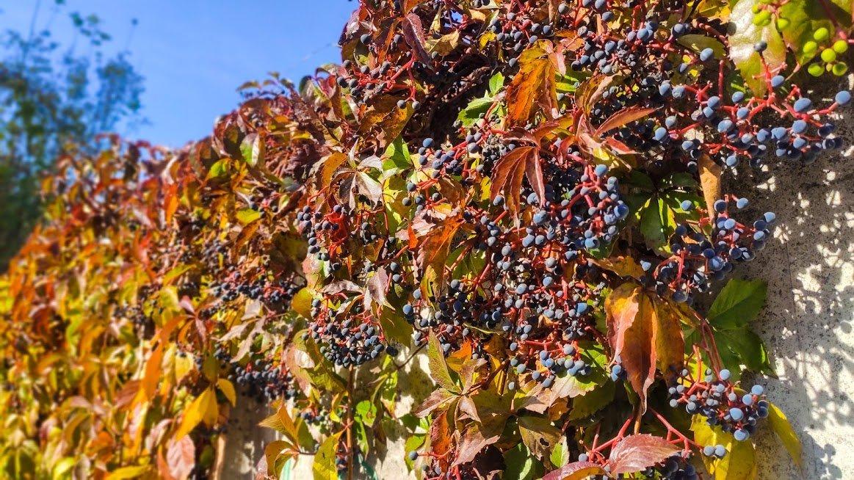 Золота осінь в Ужгороді: не проґавте красу! (ФОТОРЕПОРТАЖ), фото-1
