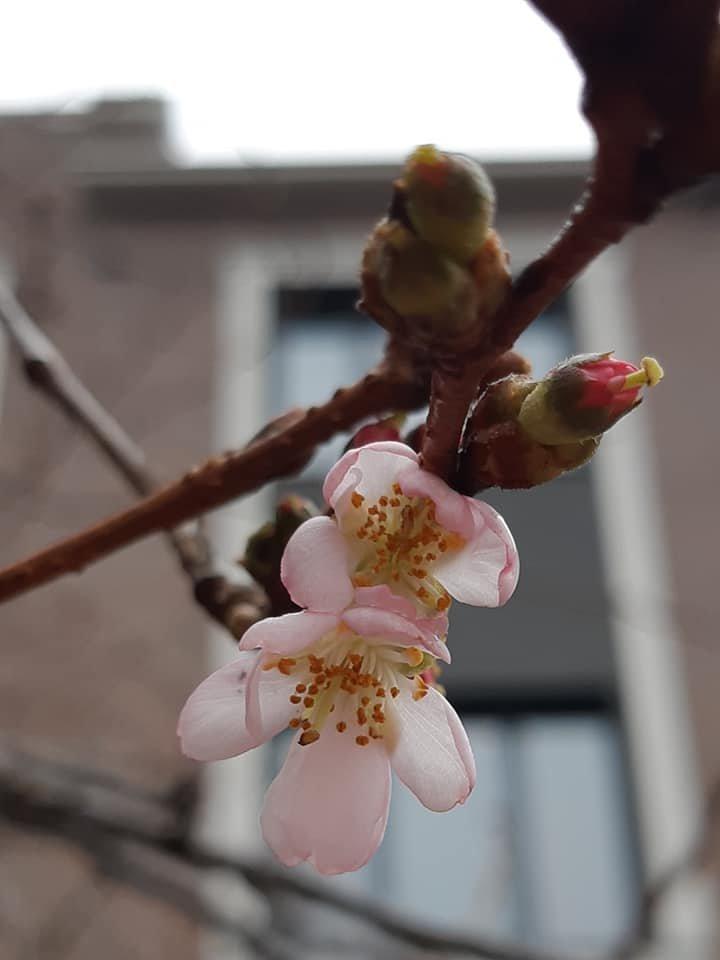 Майже весна: на Закарпатті розцвіла сакура (ФОТОФАКТ), фото-1