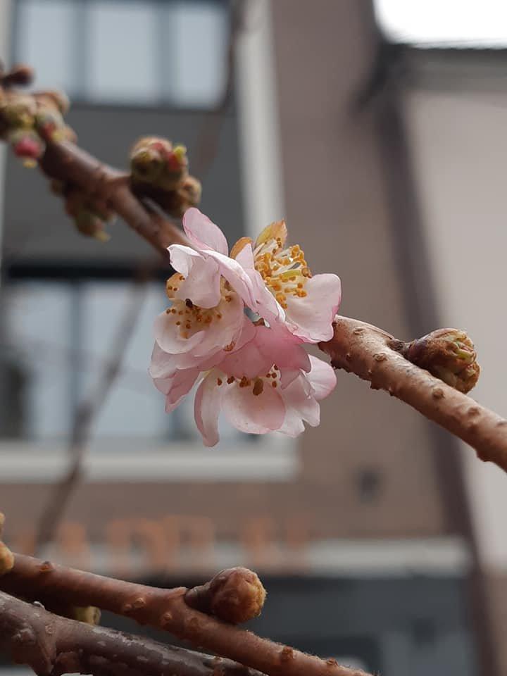 Майже весна: на Закарпатті розцвіла сакура (ФОТОФАКТ), фото-2