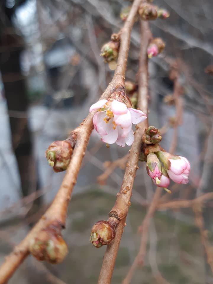 Майже весна: на Закарпатті розцвіла сакура (ФОТОФАКТ), фото-3