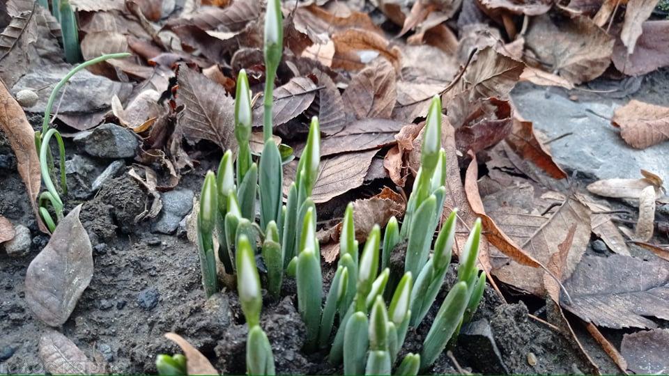 12 місяців завітали на Закарпаття? Посеред зими зацвіли первоцвіти (ФОТО), фото-1