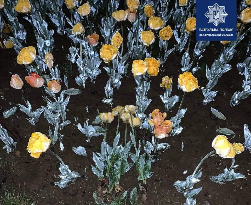 Зривав тюльпани на клумбі: в Ужгороді затримали чоловіка, який псував благоустрій міста (ФОТО), фото-1